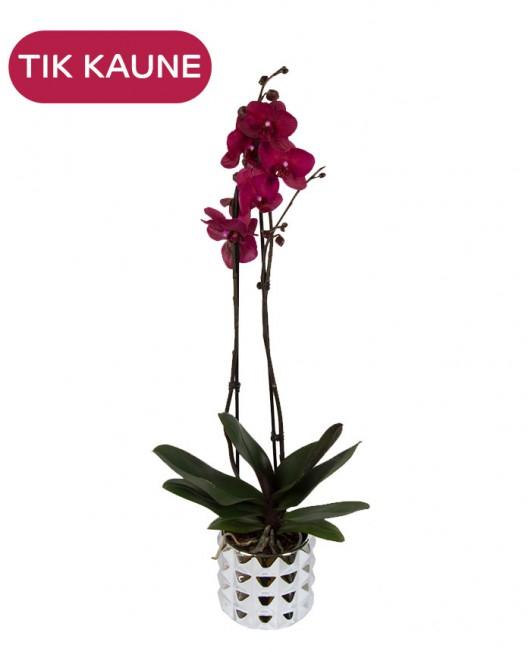 Violetinės orchidėjos