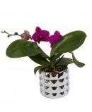 Violetinės spalvos orchidėja