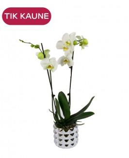 Baltos orchidėjos