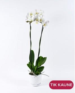 """Karališkoji orchidėja """"Phalaenopsis"""""""