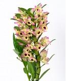 """Orchidėja """"Dendroniumas"""""""