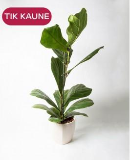Lyralapis fikusas (Ficus lyrata)