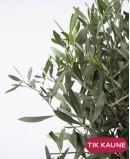 Alyvmedis (Olea Europaea)