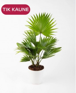Livistona (Rotundifolia)