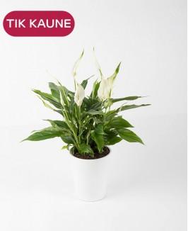 Spatifilis (Spathiphyllum bellini)