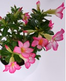 Dykumų rožė (Adenium obesun)