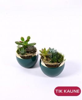 Sukulentų kompozicija žaliame vazonėlyje