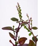 Vijoklinis špinatas (Basella alba)