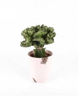 Euforbija (Euphorbia)