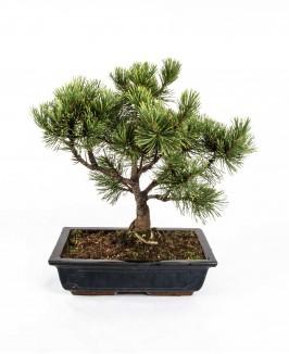 Pušis bonsai