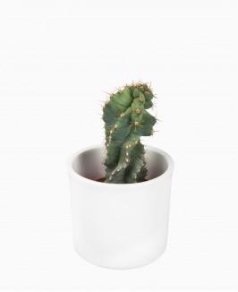 Kaktusas (Cere Ov)