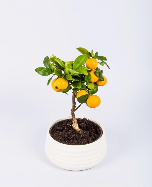 Mandarinmedis