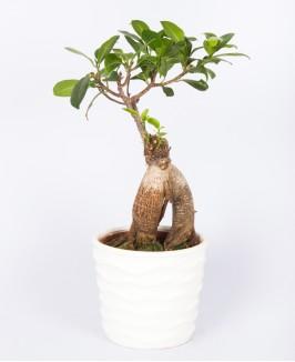 Ficus Mi Ginseng Bonsai medelis