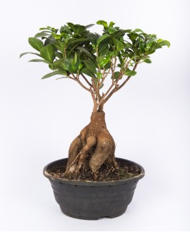 Ficus Mi Ginseng