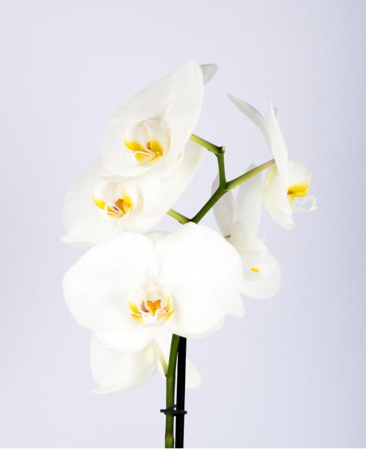 Balta orchidėja