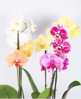 Orchidėjų miksas