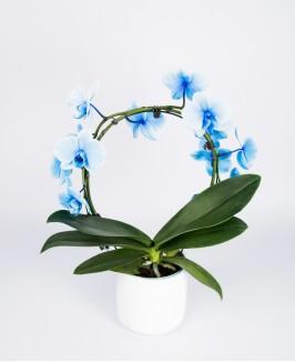 Dažyta mėlyna lenkta orchidėja