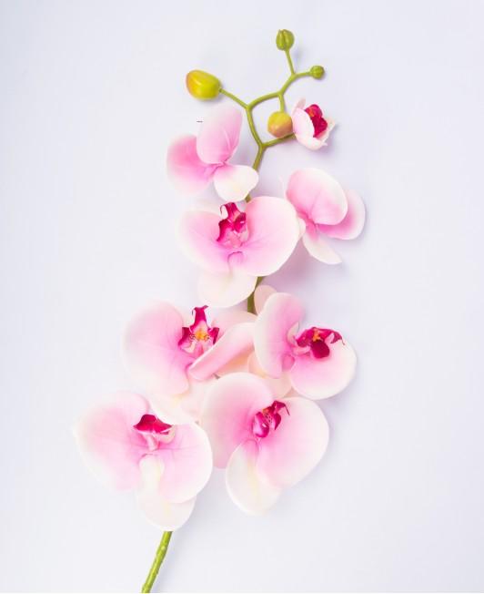 Latekso orchidėja. Rožinė