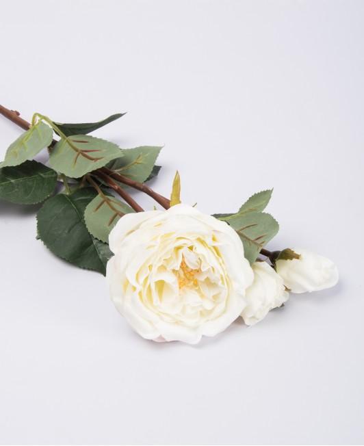 Balta rožė su koteliu