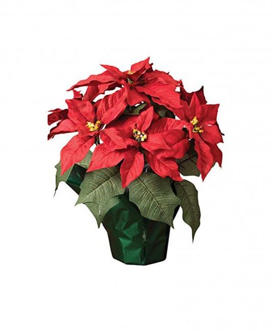 Puansetija (Kalėdinė gėlė)
