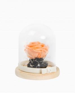 Mieganti persiko spalvos rožė