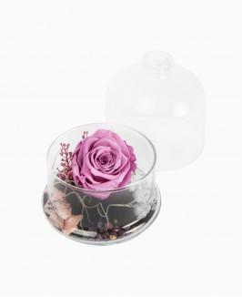 Mieganti rožė (violetinė)