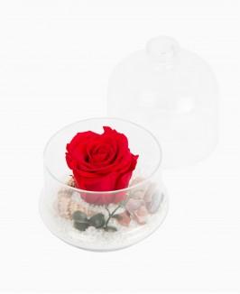 Raudona mieganti rožė