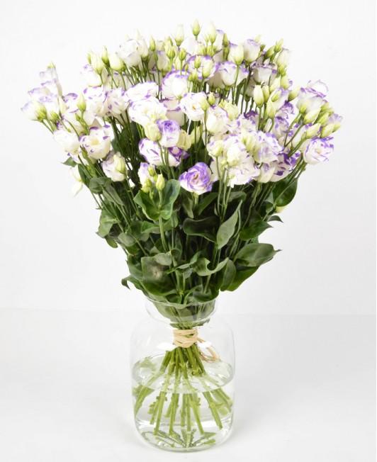 Baltos spalvos eustomos su violetiniais krašteliais