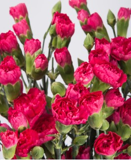 Tamsiai rožinės spalvos gvazdikėliai