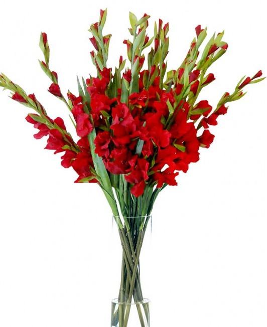 Raudoni kardeliai (gladiolės)